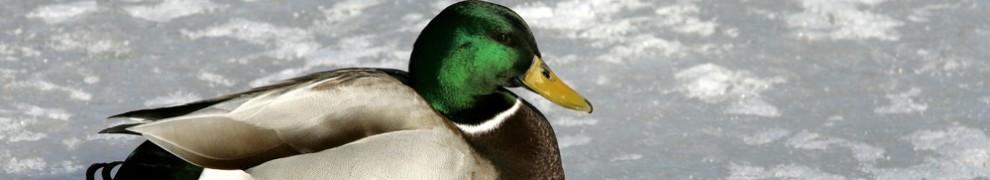 cropped-duck-header.jpg